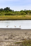 Delicate Wetlands. Three willet on shoreline of marshland Royalty Free Stock Image