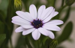 A delicate white African Daisy. A beautiful and delicate garden flower known as Osteospermum or African Daisy Stock Photos