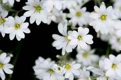 Delicate White Blossoms  Stock Photography