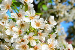 Delicate White Blossoms in Bloom Royalty Free Stock Image