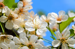 Delicate White Blossoms in Bloom Stock Photography