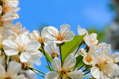 Delicate White Blossoms in Bloom Royalty Free Stock Photography