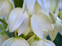 Delicate white campanulate flowers of Yucca blooms in August royalty free stock images