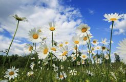 Delicate white chamomile flower heads grow on a summer meadow an. D stretch to the blue sky Stock Photography