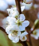 Delicate white cherry blossoms Stock Photo
