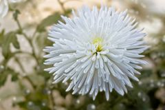 Delicate white chrysanthemum flower Stock Image