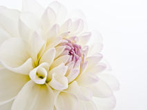 Delicate White Dahlia Royalty Free Stock Photography