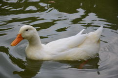 Delicate white duck Stock Image