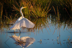 Delicate white egret at dawn Stock Photography