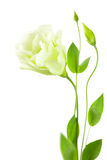 Delicate white Eustoma (Lisiantus) Flower with leaves and buds Stock Images