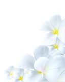Delicate white flower bloom Royalty Free Stock Photos