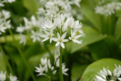 Wild garlic Allium ursinum in British woodland stock photo
