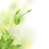 Delicate White Flowers Background with Buds /  Eustoma ( Lisiant Stock Photography