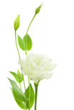 Delicate White Flowers Background with Buds /  Eustoma ( Lisiant Royalty Free Stock Images