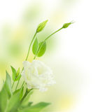 Delicate white Flowers with Buds /  isolated  / Eustoma ( Lisian Stock Images