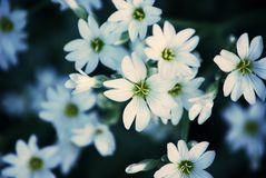 Delicate white flowers. Close up of delicate white flowers Stock Photography