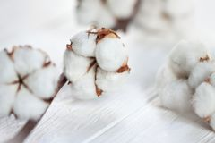 Delicate white flowers of cotton on a wooden Board. stock images