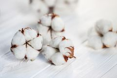 Delicate white flowers of cotton on a wooden Board. royalty free stock images