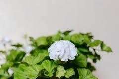 Delicate white flowers of geranium. Delicate white geranium flowers and green geranium leaves royalty free stock photo