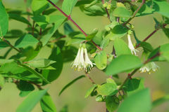 Delicate white flowers and immature green fruits on the branches of a Bush of blue honeysuckle lat. Lonicera coerulea Royalty Free Stock Image