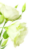 Delicate white Flowers isolated with copy space / Eustoma ( Lisi Royalty Free Stock Photos