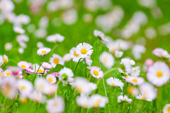 Delicate white flowers Stock Photography