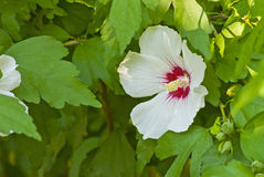 Delicate white hibiscus flower Royalty Free Stock Image