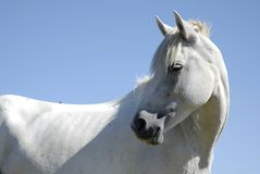 Delicate white horse closeup on blue sky. Evoking elegance and purity Royalty Free Stock Photography