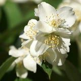 Delicate white jasmine blossom (closeup) Royalty Free Stock Photos