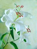 Delicate white lily Stock Images