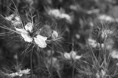 Delicate white love-in-a-mist flower against nigella plants. Delicate love-in-a-mist flower in selective focus against a flower bed full of nigella plants Stock Photos