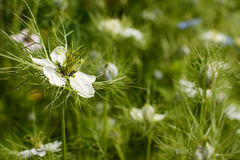 Delicate white love-in-a-mist flower against nigella plants Royalty Free Stock Images