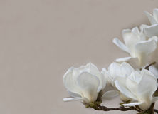 Delicate white magnolia flowers for wedding invitations, advertisements, posters, signs, and other great ideas and concepts. horiz Royalty Free Stock Photography