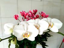 Delicate white orchid and cyclamen flowers Stock Photos