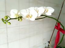 Delicate white orchid flowers with red bow Stock Image