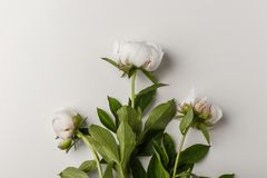 Delicate white peonies on a white background royalty free stock photo