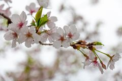 Delicate white and pink cherry blossoms with new leaf shoots Royalty Free Stock Images