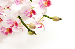 Delicate white pink orchids stock image