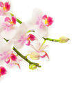 Delicate white pink orchids Royalty Free Stock Images