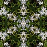 Virginia Spring Beauty Wildflowers Kaleidoscope. These are delicate white and pink Virginia Spring Beauty Wildflowers, Claytonia virginica, that come up in my stock images