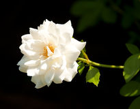 Delicate white rose Royalty Free Stock Photography