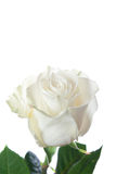 Delicate white  rose isolated on a white Stock Photos