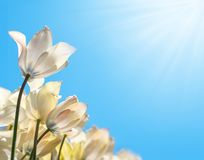 Delicate white tulips in the sunshine on a blue background, bottom view royalty free stock image