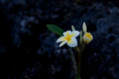 Delicate white and yellow frangipani flower moist with morning d Stock Photo