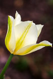 Delicate white with yellow tulip against green garden background. Royalty Free Stock Images