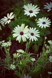 Delicate wild daisies Stock Images
