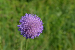 Delicate wild leek flower on a background of green grass Stock Photos