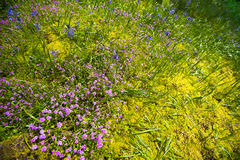 Delicate wildflowers on mossy stones Royalty Free Stock Image