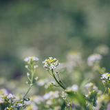 Delicate wildflowers Royalty Free Stock Photos