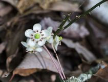 Delicate Woodland Flower and Thorns. Small white, five-petal flower with green center found in woodlands Stock Photography